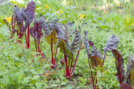 Red coast chard growing into the vegetable garden