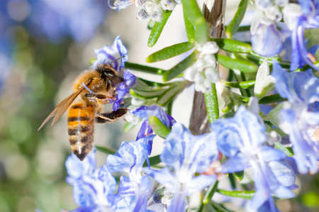 Honey bee pollinating a rosemary flower during spring