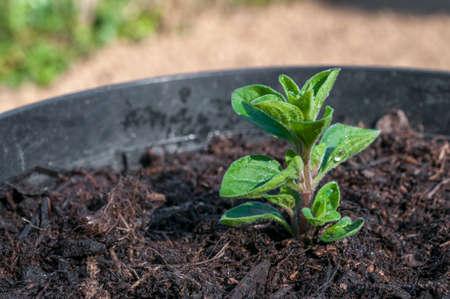 Italian oregano cutting in a pot exposed to the sun 스톡 콘텐츠