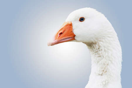 White goose (anser anser domesticus) close-up shot with soft gradient background