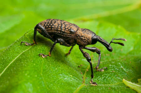 Adult specimen of fig weevil (aclees cribratus Gyllenhy). This beetle native to Southeast Asia is infesting the fig trees of central Italy.