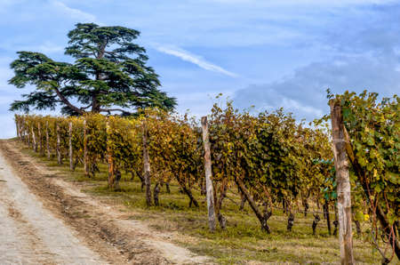 Vineyard of Langhe and secular cedar tree, in Piedmont, during harvest period in autumn