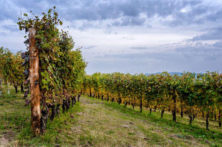 Vineyard of Langhe, in Piedmont, during harvest period in autumn
