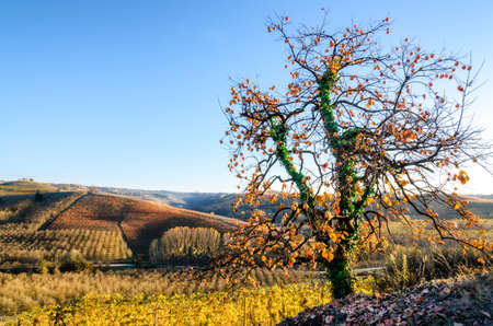 Tree and vineyard of Langhe (Piedmont, Italy) in autumn Stock Photo