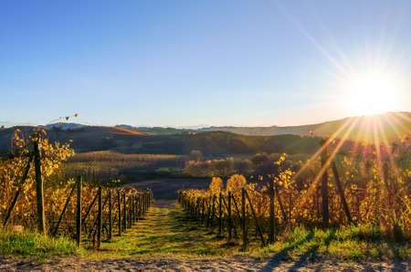Sunset over the vineyard of Langhe, in Piedmont (Italy), during harvest period in autumn