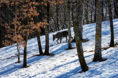 exemplary: Italian wolf (canis lupus italicus) in wildlife centre Uomini e lupi of Entracque, Maritime Alps Park (Piedmont, Italy) Stock Photo