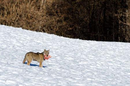 Young italian wolf (canis lupus italicus) in wildlife centre