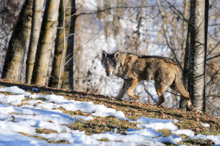 exemplary: Young italian wolf (canis lupus italicus) in wildlife centre Uomini e lupi of Entracque, Maritime Alps Park (Piedmont, Italy) Stock Photo