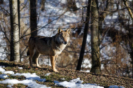 Male italian wolf (canis lupus italicus) in wildlife centre Uomini e lupi of Entracque, Maritime Alps Park (Piedmont, Italy)