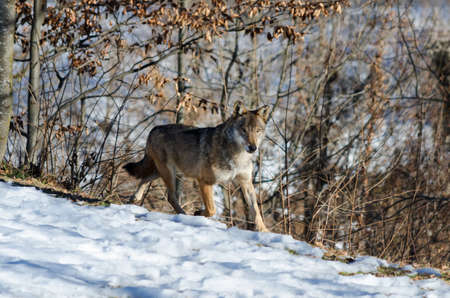 exemplary: Male italian wolf (canis lupus italicus) in wildlife centre Uomini e lupi of Entracque, Maritime Alps Park (Piedmont, Italy)
