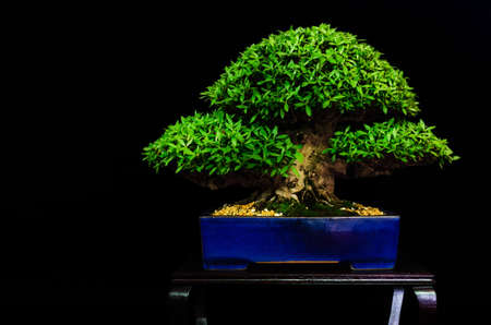 Traditional japanese bonsai (miniature tree) on a table with black background Stock Photo