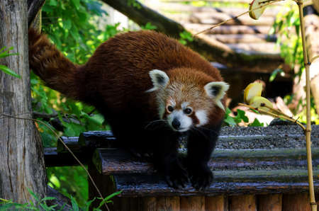 bearcat: Red panda (Ailurus fulgens), walking on a tree