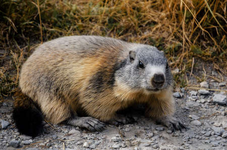 Marmot in the grass in Mercantour National Park, val de lUbayette