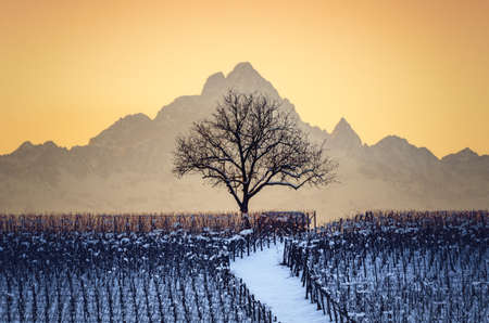 Sunset in winter over the hills of Barolo (Langhe, Piedmont, Italy) with snow in the vineyards, a bare tree and the Mount Viso (Monviso) in the background