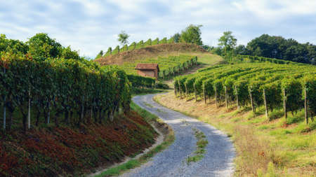 vineyard of barolo (wine district of langhe, in Piedmont, Italy), with an old toolshed between the vine rows