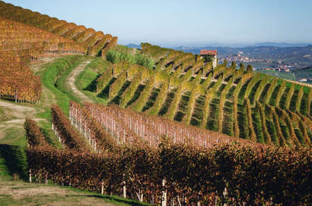 Autumn walk after harvest in the hiking paths between the rows and vineyards of nebbiolo grape, in the Barolo Langhe hills, most important wine district of Piedmont and Italy 版權商用圖片