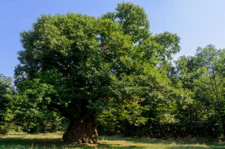 400 years old monumental chestnut tree in Roero, Italy