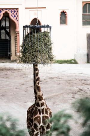 shyness: Giraffes