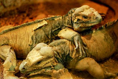 Iguanas shedding skin, Barcelona zoo