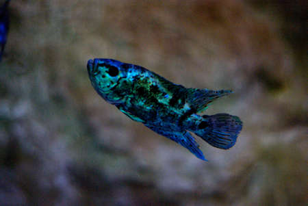 Blue fish with black spots Stock Photo