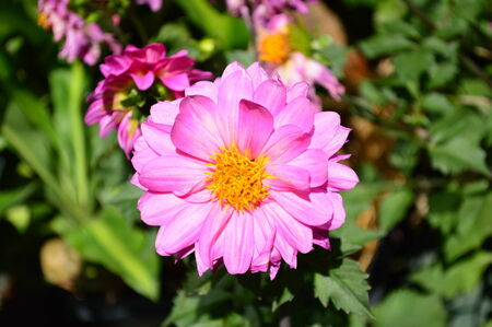 Dahlia Stock Photo - 30857688
