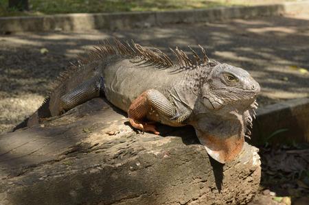 saurian: iguana close up