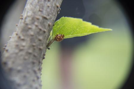 ladybird climbing on a leaf