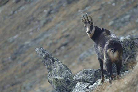 山の崖の上の野生のヤギ シャモア (rupicapra rupicapra)