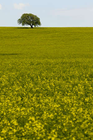 napus: field of yellow rapeseed (Brassica napus) flowers and single tree
