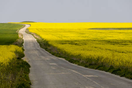 biodiesel: lonely asphalt country road between yellow rapeseed fields Stock Photo