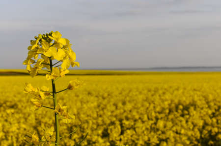napus: detail of a yellow rapseed (brassica napus) flower with rapeseed field in the background