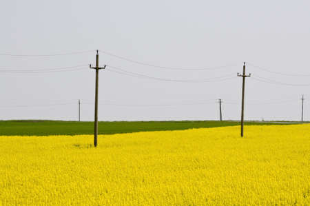 napus: telephone electricity poles in yellow rapeseed (brassica napus) field