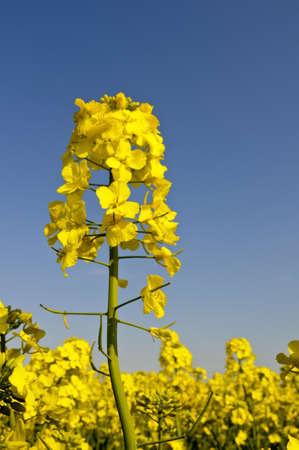 oilseed rape: yellow rapeseed flower on blue sky background