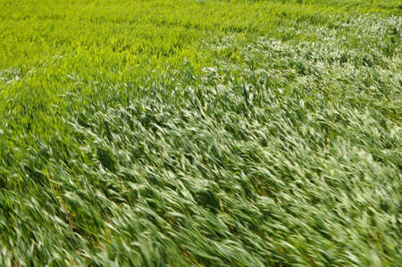 strong wind: blured green wheat field blown by strong wind