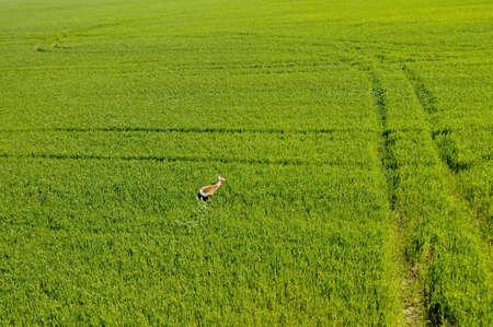 aerial animal: aerial view of scared deer running away in green wheat field