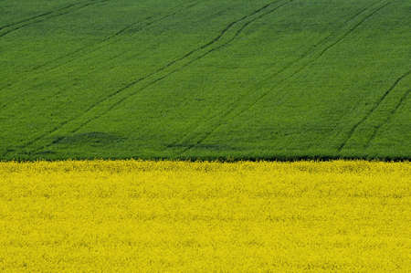 yellow rapeseed field in front of green crop field