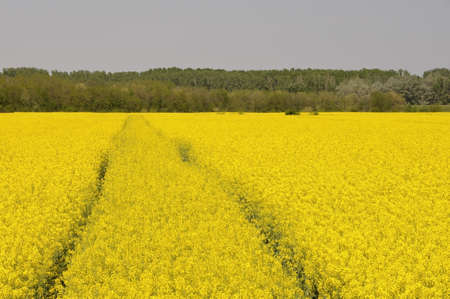 oilseed rape: yellow rapeseed field with winding tractor track
