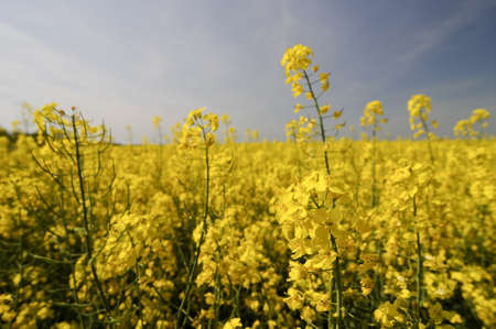 biodiesel: yellow rapeseed flower in front of yellow crop field