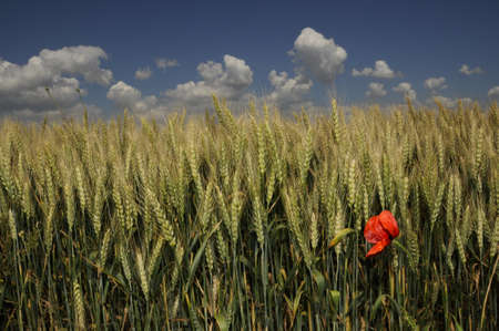 red poppy in golden corn field with blue sky and clouds photo