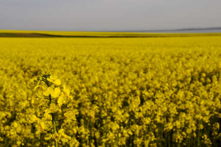 napus: detail of a rapseed (brassica napus) with rapeseed field in the background