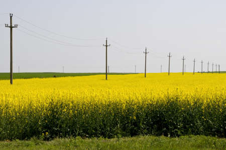telephone poles: electricity telephone poles in yellow rapeseed (brassica napus) field  Stock Photo