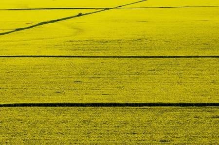 aerial view of yellow rapeseed field with straight road lines