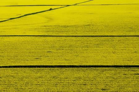 colza: Vista a�rea del campo de colza de color amarillo con l�neas rectas de carretera
