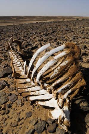 white camel skeleton in rocky desert