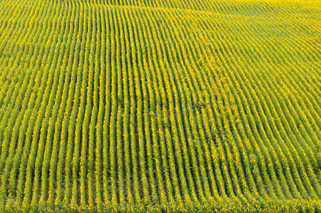 sunflower field: aerial view of yellow blooming sunflower field rows Stock Photo