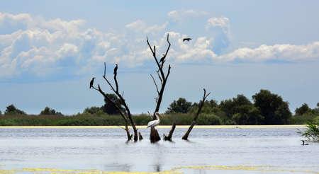 pelican and cormorans on a dead tree in the Danube Delta waters, Romania