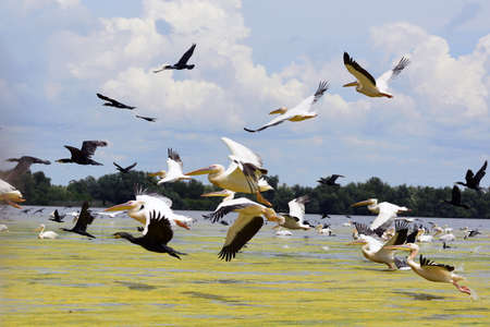 pelicans and cormorans taking off in the Danube Delta, Romania
