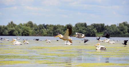 danube delta: pelicans and cormorans taking off in the Danube Delta, Romania