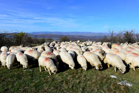 sheep flock grazing around highlands in Transylvania, Romania Standard-Bild