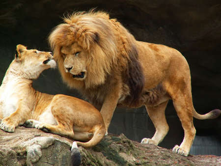 roar: female lion and angry male lion